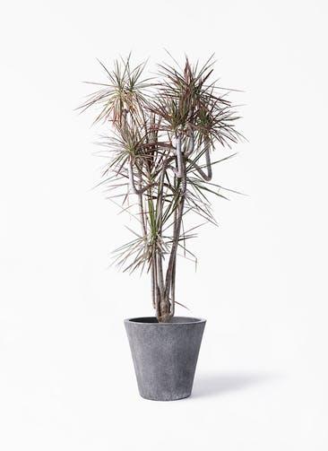 観葉植物 ドラセナ コンシンネ レインボー 10号 曲り フォリオソリッド ブラックウォッシュ 付き