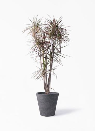 観葉植物 ドラセナ コンシンネ レインボー 10号 曲り ビアスソリッド ブラック 付き