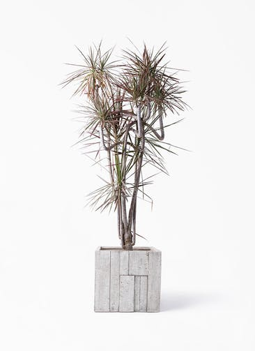観葉植物 ドラセナ コンシンネ レインボー 10号 曲り パターン キューブ 付き
