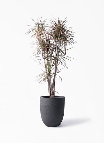 観葉植物 ドラセナ コンシンネ レインボー 10号 曲り ビアスアルトエッグ ブラック 付き
