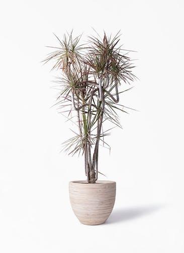 観葉植物 ドラセナ コンシンネ レインボー 10号 曲り マラッカ クリームウォッシュ 付き