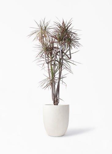 観葉植物 ドラセナ コンシンネ レインボー 10号 曲り フォリオアルトエッグ クリーム 付き