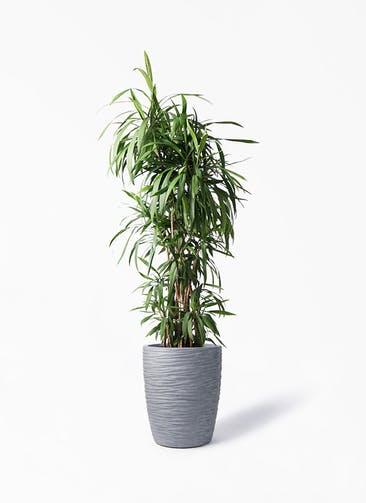観葉植物 コルディリネ (コルジリネ) ストリクタ 10号 サン ミドル リッジ 灰 付き
