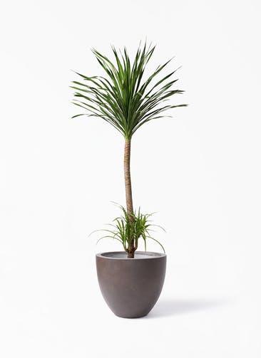 観葉植物 ドラセナ カンボジアーナ 10号 エルム ラウンド ブラウン 付き