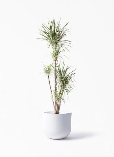 観葉植物 コンシンネ ホワイポリー 10号 ストレート アユラニ ライレイ 付き