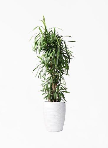 観葉植物 コルディリネ (コルジリネ) ストリクタ 10号 サン ミドル リッジ 白 付き