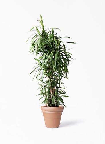 観葉植物 コルディリネ (コルジリネ) ストリクタ 10号 トスカーナ リムポット 付き