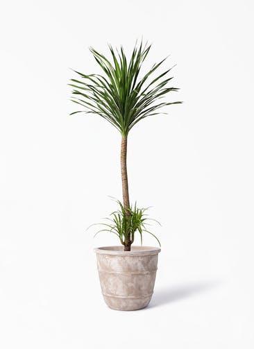 観葉植物 ドラセナ カンボジアーナ 10号 テラアストラ シリウス 付き