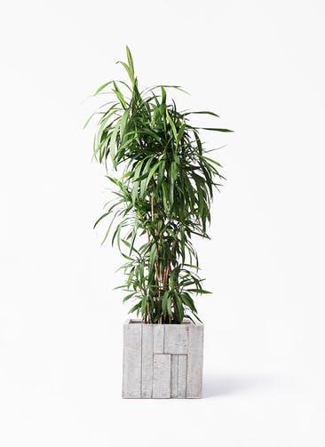 観葉植物 コルディリネ (コルジリネ) ストリクタ 10号 パターン キューブ 付き