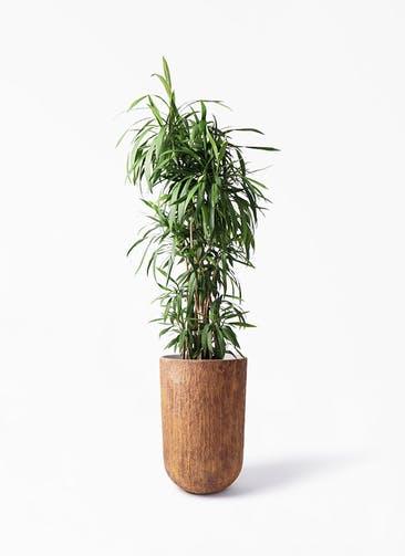 観葉植物 コルディリネ (コルジリネ) ストリクタ 10号 バル トール ラスティ 付き