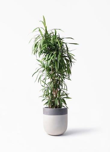 観葉植物 コルディリネ (コルジリネ) ストリクタ 10号 バルゴ ツートーン  サンディホワイト 付き