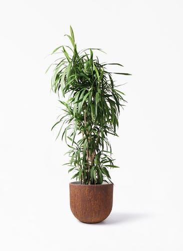 観葉植物 コルディリネ (コルジリネ) ストリクタ 10号 バル ユーポット ラスティ  付き