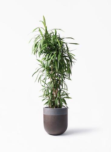 観葉植物 コルディリネ (コルジリネ) ストリクタ 10号 バルゴ ツートーン マットブラウン 付き