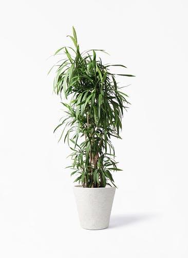 観葉植物 コルディリネ (コルジリネ) ストリクタ 10号 ビアスソリッド アイボリー 付き