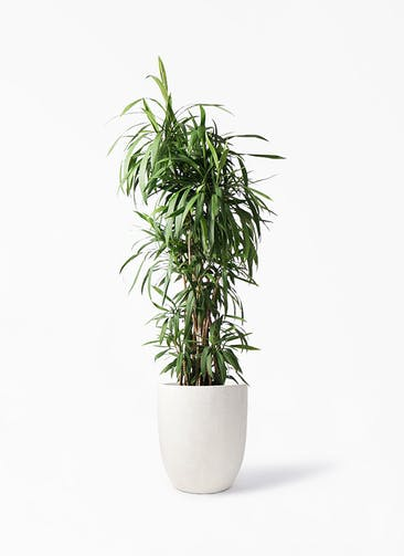 観葉植物 コルディリネ (コルジリネ) ストリクタ 10号 フォリオアルトエッグ クリーム 付き