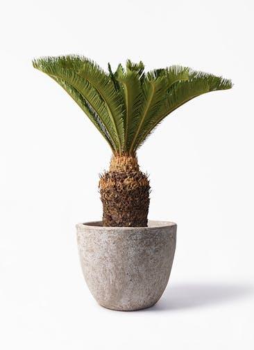 観葉植物 ソテツ 10号 アビスソニア ラウンド 付き