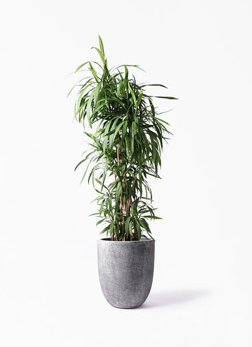 観葉植物 コルディリネ (コルジリネ) ストリクタ 10号 フォリオアルトエッグ ブラックウォッシュ 付き