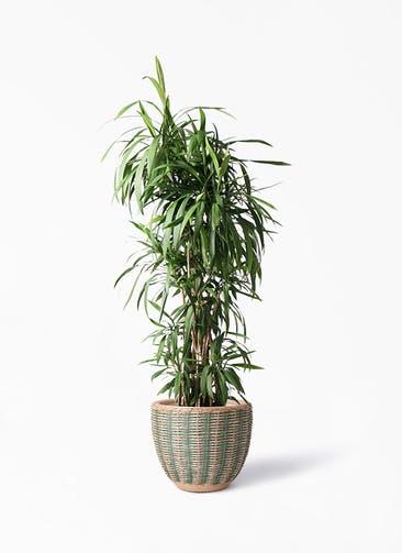 観葉植物 コルディリネ (コルジリネ) ストリクタ 10号 マラッカ ダイドグリーン 付き