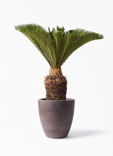 観葉植物 ソテツ 10号 コーテス ラウンド ブラウン 付き