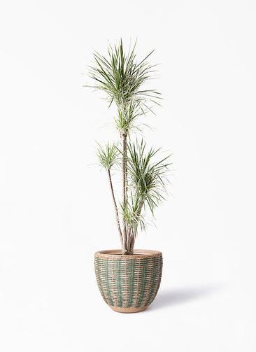 観葉植物 コンシンネ ホワイポリー 10号 ストレート マラッカ ダイドグリーン 付き