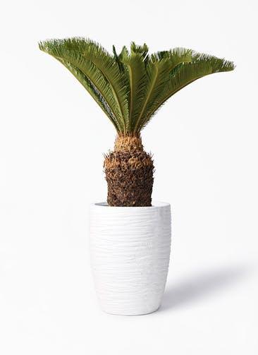 観葉植物 ソテツ 10号 サン ミドル リッジ 白 付き