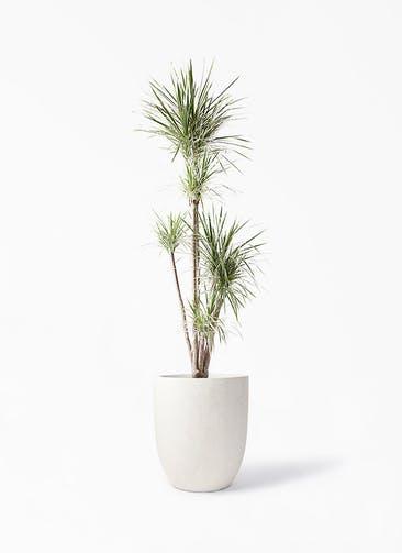 観葉植物 コンシンネ ホワイポリー 10号 ストレート フォリオアルトエッグ クリーム 付き