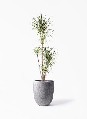 観葉植物 コンシンネ ホワイポリー 10号 ストレート フォリオアルトエッグ ブラックウォッシュ 付き