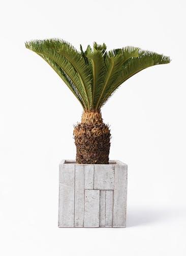 観葉植物 ソテツ 10号 パターン キューブ 付き