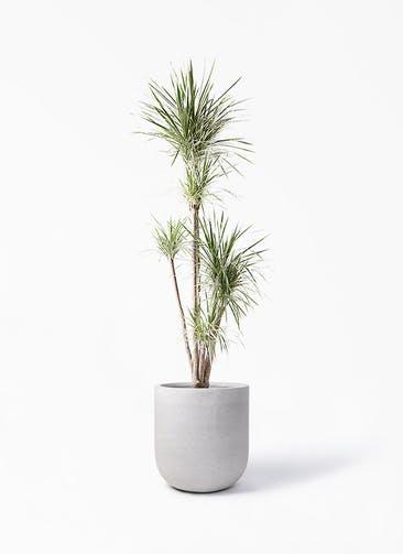 観葉植物 コンシンネ ホワイポリー 10号 ストレート バルゴ モノ ライトグレー 付き