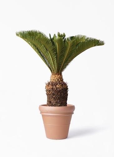 観葉植物 ソテツ 10号 トスカーナ リムポット 付き