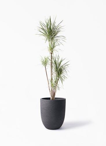 観葉植物 コンシンネ ホワイポリー 10号 ストレート ビアスアルトエッグ ブラック 付き