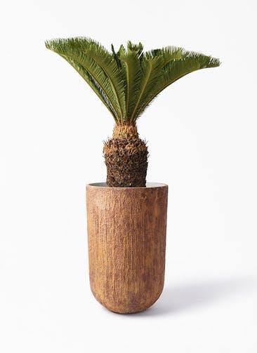 観葉植物 ソテツ 10号 バル トール ラスティ 付き