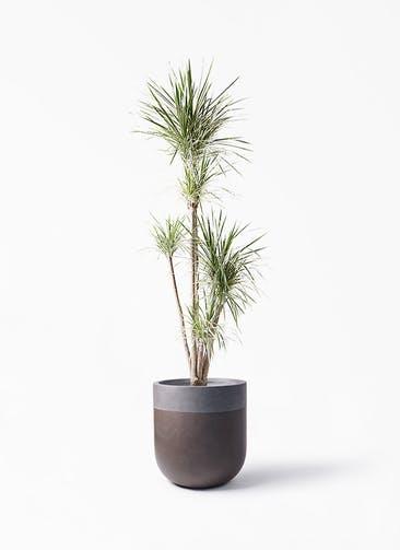 観葉植物 コンシンネ ホワイポリー 10号 ストレート バルゴ ツートーン マットブラウン 付き