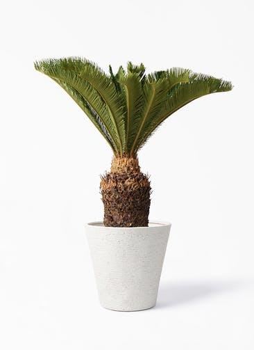 観葉植物 ソテツ 10号 ビアスソリッド アイボリー 付き