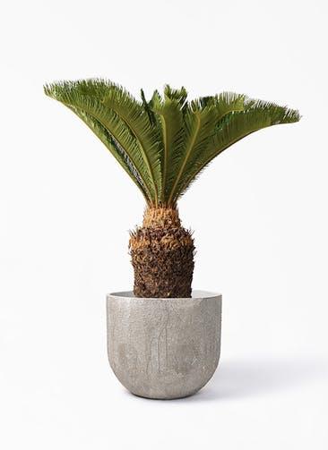 観葉植物 ソテツ 10号 バル ユーポット アンティークセメント 付き