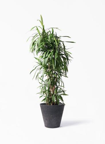 観葉植物 コルディリネ (コルジリネ) ストリクタ 10号 アートストーン ラウンド ブラック 付き