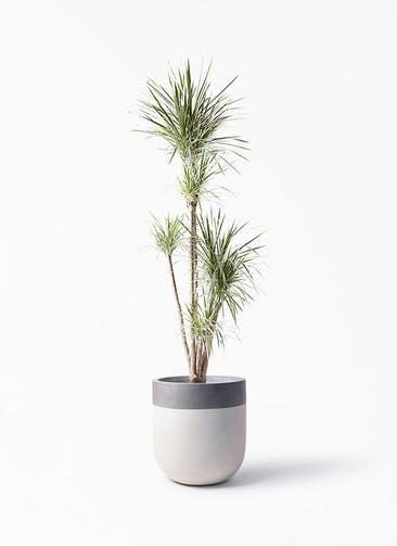 観葉植物 コンシンネ ホワイポリー 10号 ストレート バルゴ ツートーン  サンディホワイト 付き