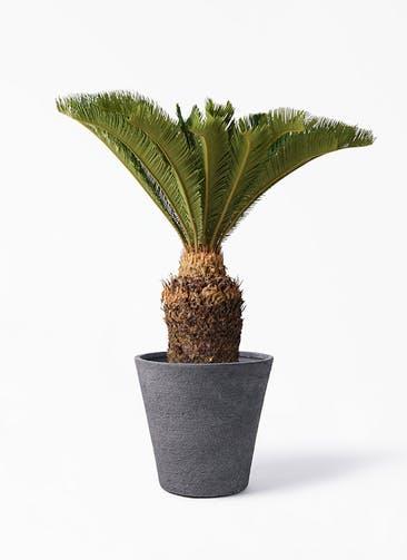 観葉植物 ソテツ 10号 ビアスソリッド ブラック 付き