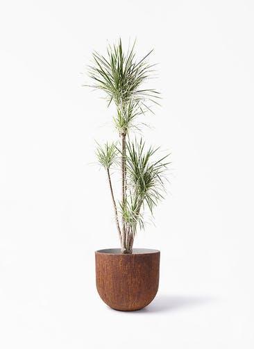 観葉植物 コンシンネ ホワイポリー 10号 ストレート バル ユーポット ラスティ  付き