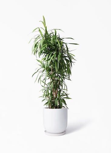 観葉植物 コルディリネ (コルジリネ) ストリクタ 10号 アファール 白 付き