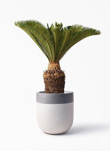 観葉植物 ソテツ 10号 バルゴ ツートーン  サンディホワイト 付き