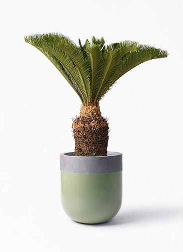 観葉植物 ソテツ 10号 バルゴ ツートーン 緑 付き