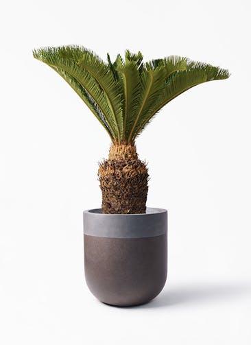 観葉植物 ソテツ 10号 バルゴ ツートーン マットブラウン 付き