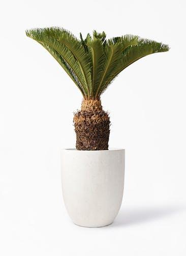 観葉植物 ソテツ 10号 フォリオアルトエッグ クリーム 付き