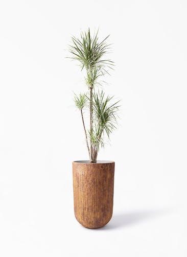 観葉植物 コンシンネ ホワイポリー 10号 ストレート バル トール ラスティ 付き
