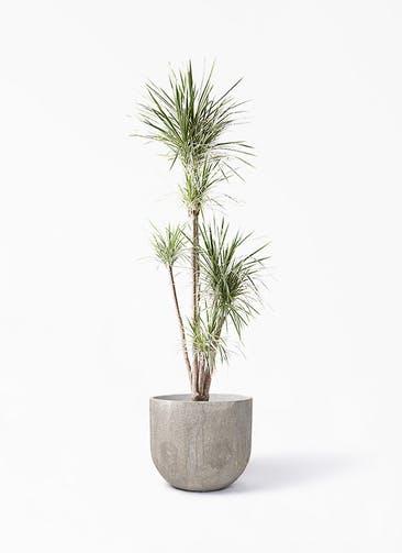 観葉植物 コンシンネ ホワイポリー 10号 ストレート バル ユーポット アンティークセメント 付き