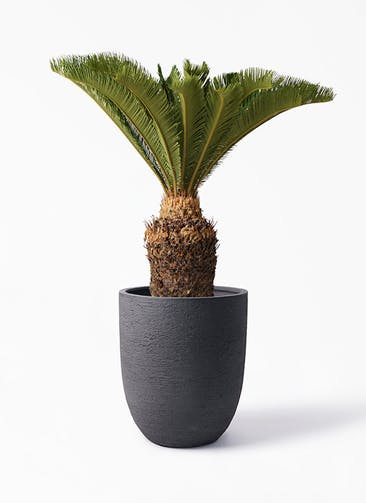 観葉植物 ソテツ 10号 ビアスアルトエッグ ブラック 付き