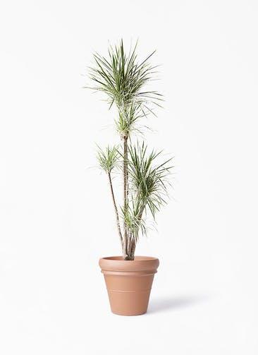 観葉植物 コンシンネ ホワイポリー 10号 ストレート トスカーナ リムポット 付き