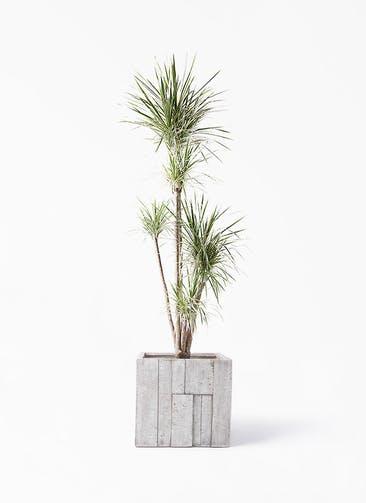 観葉植物 コンシンネ ホワイポリー 10号 ストレート パターン キューブ 付き