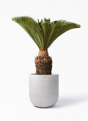 観葉植物 ソテツ 10号 バルゴ モノ ライトグレー 付き